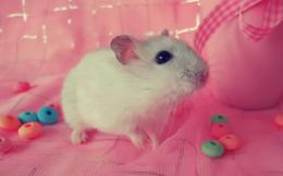 Hamster Wallpaper | Wallpapers9 1358
