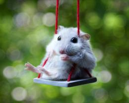 Cute Hamsters Wallpapers cute white hamster wallpaper computer 1520