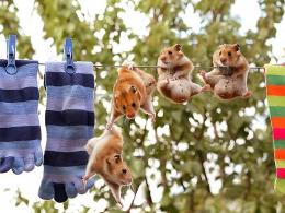 Funny Hamster On Clothes Wire Wallpapers 314