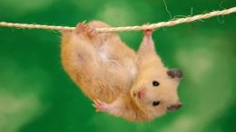 Hamster Wallpapers 1767