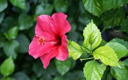 Flower Desktop Wallpapers, Pink Hibiscus Flower Desktop Backgrounds 1069