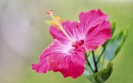 Tag: Pink Hibiscus Flower Wallpapers, Backgrounds, Photos,Images and 638