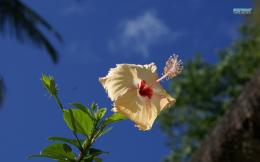 Hibiscus wallpaperFlower wallpapers#9580 796
