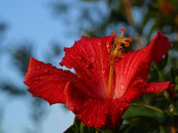 Hibiscus after rain waterdrops red nature wallpaper 995