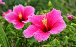 Tag: Pink Hibiscus Flower Wallpapers, Backgrounds, Photos,Images and 1048