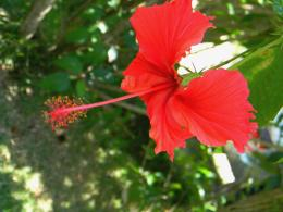 Hibiscus *** wallpaperForWallpaper com 1129