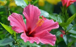 Hibiscus wallpaperFlower wallpapers#35747 164