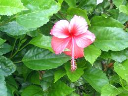 Hibiscus wallpaper 1320
