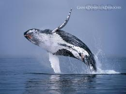 Hd Wallpapers Humpback Whale Jumping 1920 X 1080 1014 Kb Jpeg | HD 1028