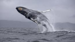 Humpback whale jumping wallpaper 106