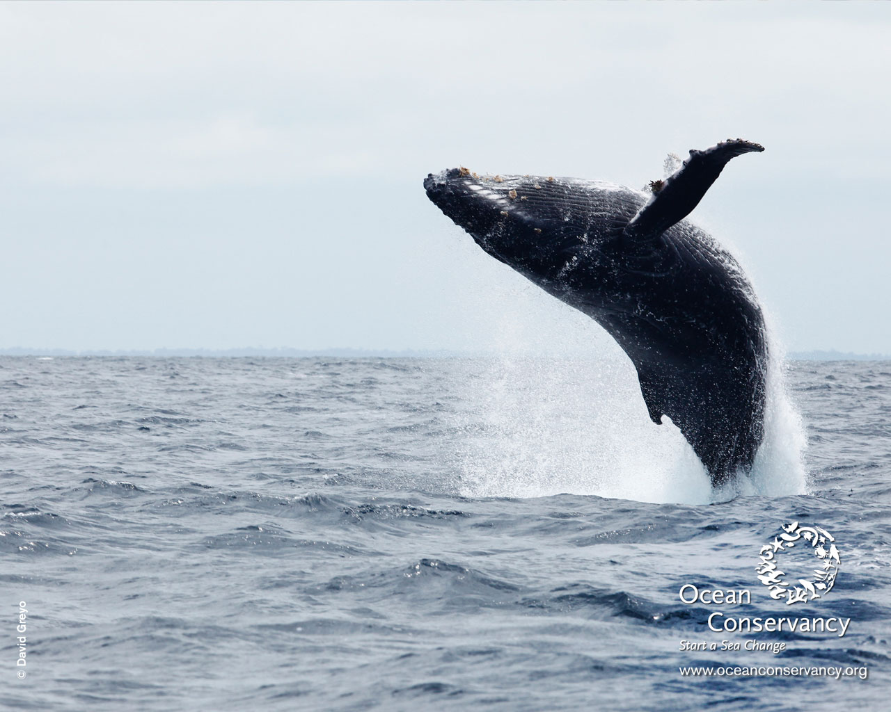 Whale Humpback Whale Jump Wallpapers Pictures to pin on Pinterest 1573