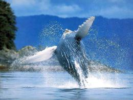 Wallpapers Desktop HD Humpback WhaleWhales, Hd, Whale Wallpaper 1185