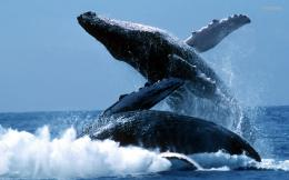 Humpback Whales Free Wallpapers DesktopWhales, Humpback, Humpback 433