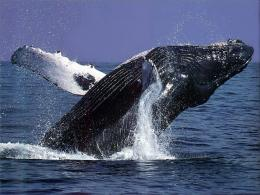 Humpback Whales Wallpapers Desktop DownloadWhales, Humpback, Desktop 1248