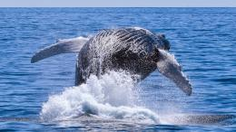Jump of the Humpback Whale Wallpaper 1042