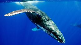 download the humpback whale wallpaper in animals wallpapers with all 1924