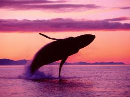 Hump Back WhaleHumpback Whales Wallpaper32310746Fanpop 660