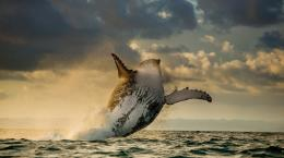 Wallpaper Abyss Explore the Collection Whales 動物 Humpback Whale 752
