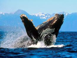 Whale Humpback Whale Jump Wallpapers Pictures to pin on Pinterest 935