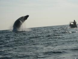 Download Whale Jumping Photo Images Picture Jumps Out Wallpaper 298