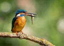 bird, kingfisher, alcedo atthis, kingfisher, drops, beak, catch, fish 237
