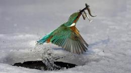 Download Kingfisher catching fishs wallpaper in Animals wallpapers 296