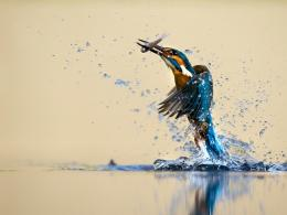 Kingfisher beautiful dance, water, splash, catch fish wallpaper 1596