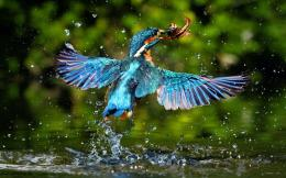 Kingfisher Catching Fish Hd Wallpaper | Wallpaper List 1973