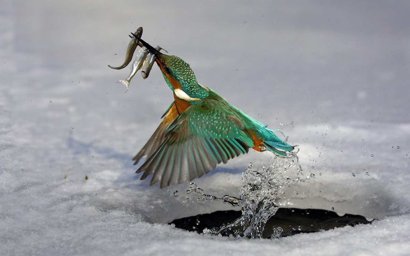 Wallpaper of Kingfisher catching fish | HD Animals Wallpapers 224