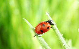 wallpaper with a ladybug between two leaves | HD ladybugs wallpapers 468
