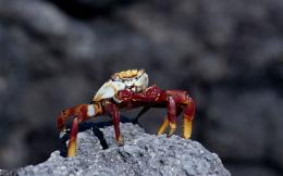 Little red crab on a rockWallpaper #1334 on WallpaperMade 1546