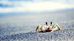 Little Crab On Sea Hd Wallpaper1240x697 iWallHDWallpaper HD 615