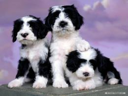 Puppy WallpaperDogs Wallpaper7013397Fanpop 852