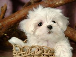 Puppies images Cute Puppy wallpaper photos15813268 495