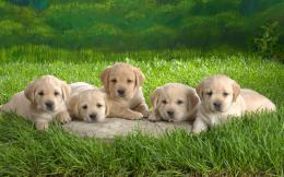 Cute Little Puppies wallpaper396883 1010