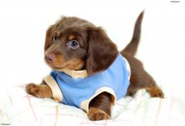 Cute Little Puppies Wallpaper WallpapersDBResimkoy 1378