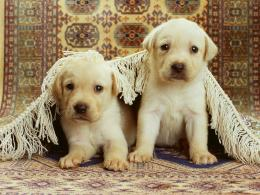 Free Cute Little Puppies Wallpaper Desktop BackgroundDogs, Wallpaper 1813