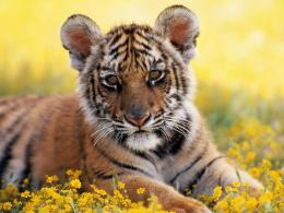 dangerous animals tiger wallpapers dangerous animals tiger wallpapers 1466