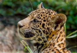 2048x1422 Wallpaper jaguar, wild cat, predator, cub, kitten, face 488