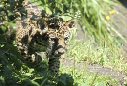 Jaguar Cub by Eozspike on deviantART 472