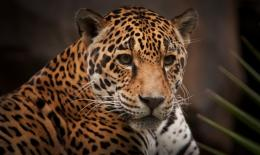 Jaguar Face Picture 717