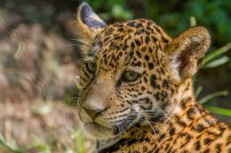 jaguar cub cat wild cat muzzle baby wallpaper background 1692