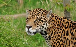 Cat Jaguar Related Keywords & SuggestionsCat Jaguar Long Tail 1142