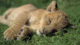 Nature animals cubs sleeping lions wild animals baby animals wallpaper 245