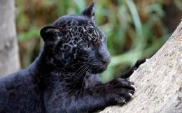 , Wild Cats, Panther Cub, Baby Animals, Jaguar Cub, Black Leopard 1821