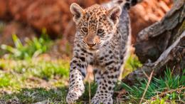 Jaguar Cub Animal Animals 1920x1080 hdw eweb4 com 1417