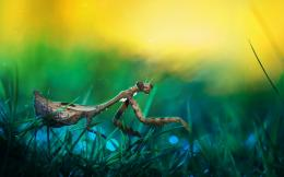 mantis, macro, wild, grass, drops, motion blur, picture, hd, wallpaper 730
