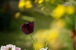 Wallpaper flowers, flowers, macro, red, tulip, tulips, leaves, blur 1596