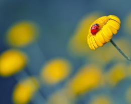 yellow flower ladybug macro wallpaper in flowers plants wallpapers 387