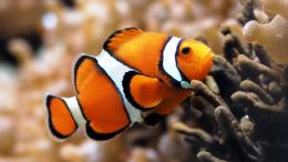 Clown Fish In Macro Shot Hd Wallpaper | Wallpaper List 1496